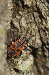 Ildtge (Pyrrhocoris apterus)